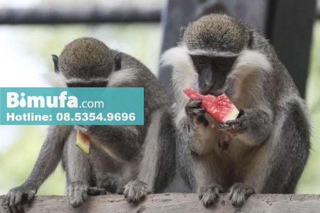 Các nhà khoa học tuyên bố đã tạo ra một con khỉ lai giữa người và khỉ (Ảnh: Visual China Group)