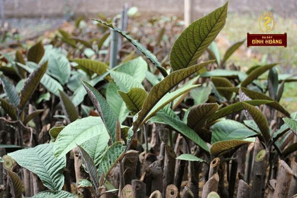 Cánh đồng dược liệu cây Khôi tía