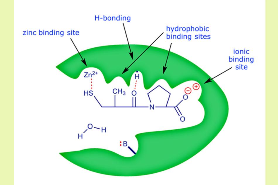 Captopril ức chế cạnh tranh ACE tại trung tâm hoạt động của enzyme