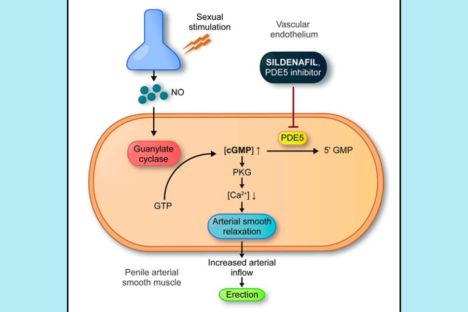 Cơ chế tác dụng của các thuốc ức chế PDE-5
