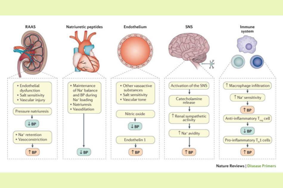 Các hệ thống thần kinh và thể dịch ảnh hưởng đến huyết áp