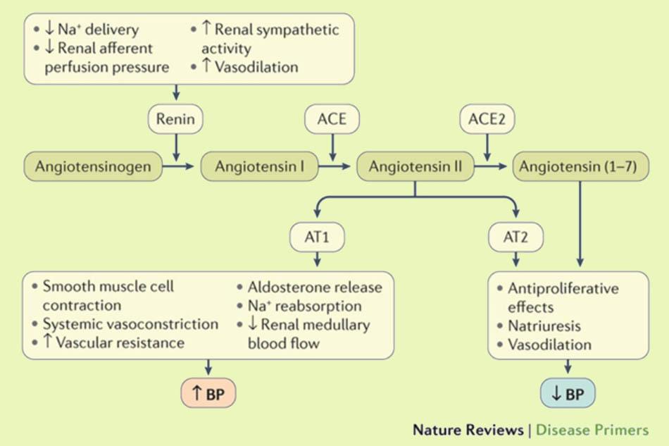 Vai trò của hệ thống RAA trong điều hòa huyết áp